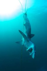 The shark was discovered near the wreck of HMAS Adelaide.