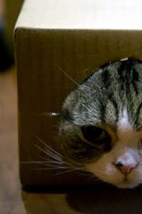 Internet sensation Maru likes to play with boxes.