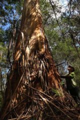 Tama Green, a protester in the Goolengook logging dispute, admires a mighty eucalypt.