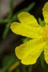 Julian's Hibbertia in full flower in the Ku-ring-gai Council region.