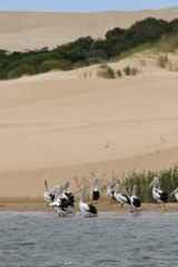 Pelicans at the Coorong lagoons, South Australia.
