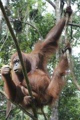 An orangutan in Bukit Lawang.