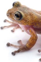 Trade off: The thorny tree frog lives in tree holes on top of mountains in Central Vietnam.
