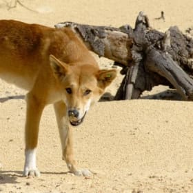 Fly-in, fly-out mine worker mauled by dingoes