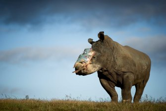A four-year old female rhino that survived a horrific poaching attack in South Africa. The poachers darted her with tranquillising drugs and hacked off her horn, leaving her for dead.