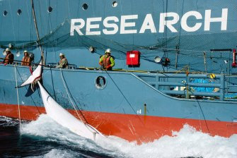 Japan says it annual slaughter of minke whales has shown the population numbers are healthy.