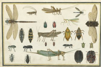 Richard  Browne (illustrator), Insects, 1813. Page  52  in Select  Specimens  from  Nature  of  the  Birds  Animals  &c  &c  of  New  South  Wales, collected  and  arranged  by  Thomas  Skottowe.