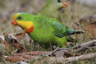 The superb parrot, a threatened bird.