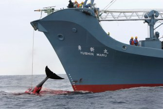 Japan conducts its annual whale hunt in the Southern Ocean despite international condemnation.