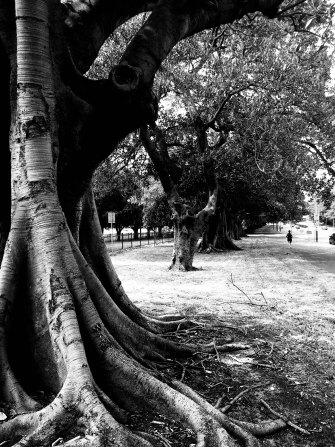 Anzac Parade trees