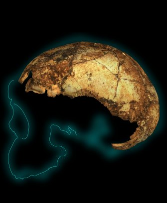 Homo erectus cranium. The remains of a hominin, any hominin, is considered a thrilling find.
