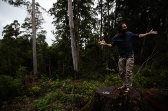 Mark Graham, an ecologist with Bellingen Nature Tours, stands on a brushbox tree stump that may be the subject of investigation for a breach of EPA logging rules in the Wild Cattle Creek State Forest.