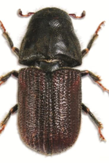 'Cold hardened': The eruption of pine bark beetles has devastated millions of hectares of forests in North America.