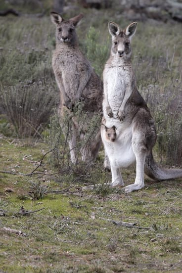 More than 3000 eastern grey kangaroos were scheduled to be culled in 2018.