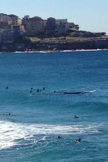 The Southern right whale swims among surfboard riders and swimmers at Bondi on Sunday.