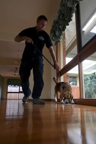 The nose knows: Bluey with his handler Andrew inspecting a Frankston house.