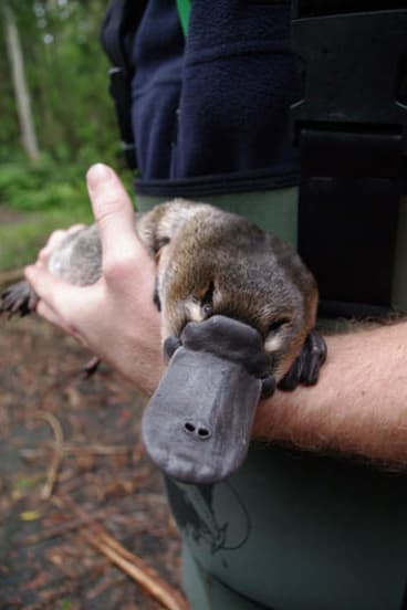 This platypus is in safe hands.