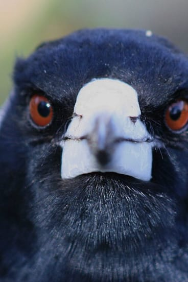 A magpie on Farrer Ridge - up close and personal.