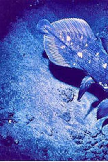 The coelacanth, a lobed fish, could be considered more closely related to chicken than other fish types.