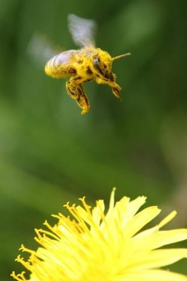 Hayfever alert: the new app will let Canberrans know pollen levels.