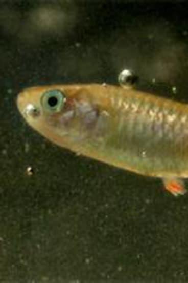 The endangered red-finned blue-eye fish.