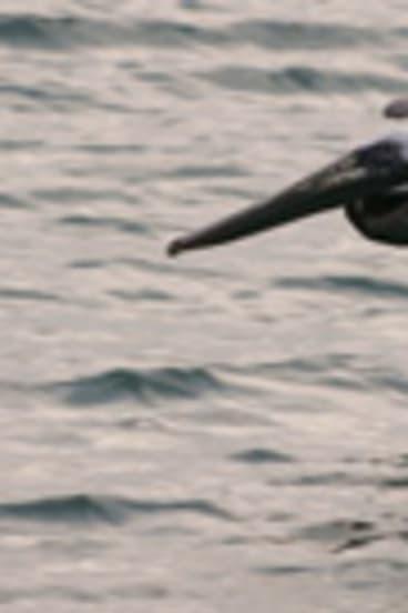 The brown pelican has been taken off the endangered species list.