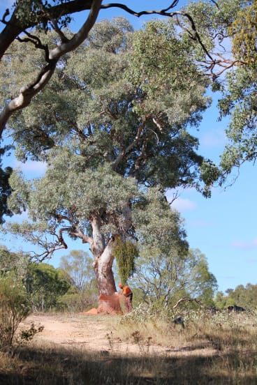 Trees start to be cleared for the Ellerton Drive Extension in Queanbeyan.