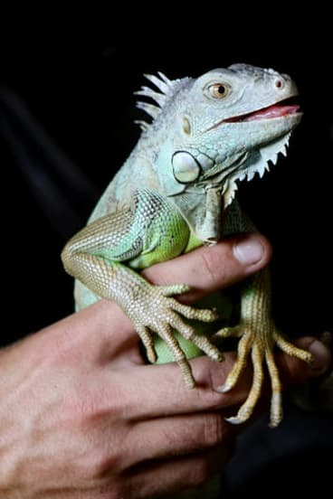 Dinner? Maybe not, but iguana is another meat that has been said to taste like chicken.