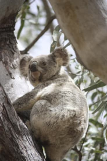 The Australian Koala Foundation says up to 10 koalas die every day in South East Queensland.
