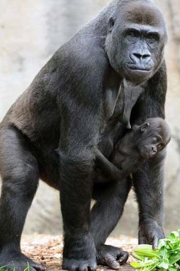 Despite the evolutionary split with gorillas around 10 million years ago, we still share a remarkable number of genes with the great ape.