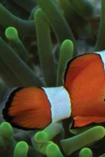 Too much CO2: Clown fish are losing the ability to navigate
