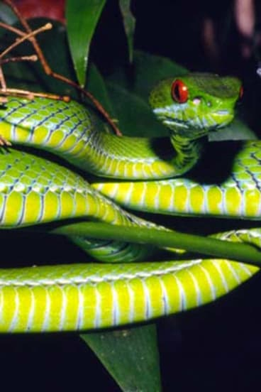 Nature's new marvels ... a ruby-eyed pit viper from Vietnam.