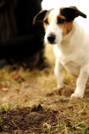 Spot, aka dog 3, truffle hunting with Damian Robinson.