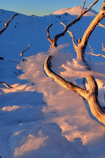 The skeleton of an ice-coated snow gum glows in the sunset.
