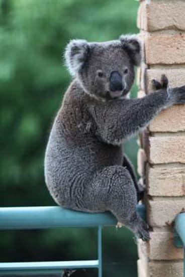 Ian the koala, bewildered in suburbia.