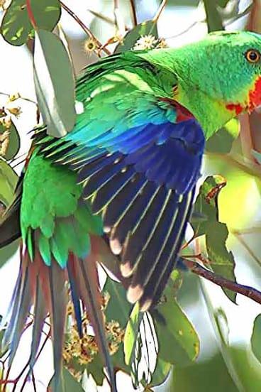Endangered: The swift parrot.