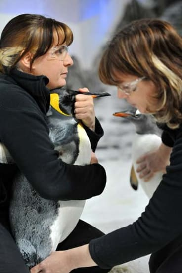Ready for therapy: Sarina Walsh ensures Pip the king penguin is comfortable as masseuse Alison Edmunds works on his leg.