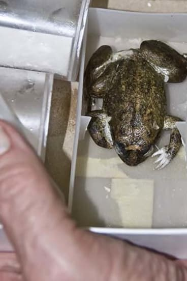 The extinct Australian gastric-brooding frog.
