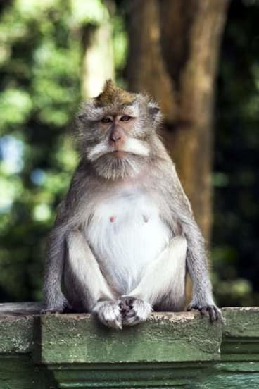 Monkey business … long-tailed macaques are a common sight (and sound) in the town.
