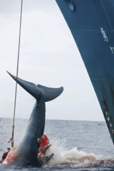 End of the line  ... Nisshin Maru runs into threatening waters.