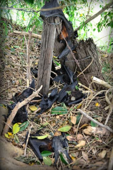 Clusters of dead flying foxes were found in and around colonies throughout southeast Queensland this summer.