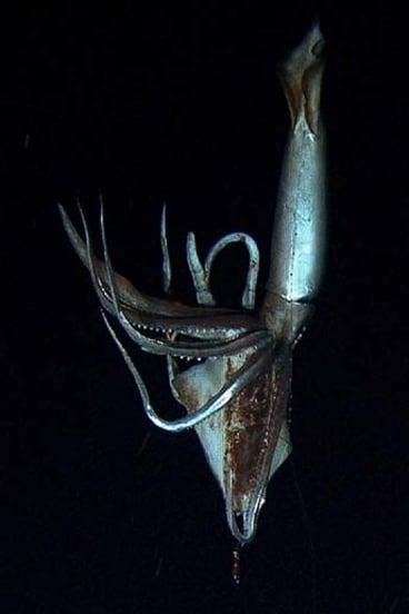 Deep dive ...  a giant squid.