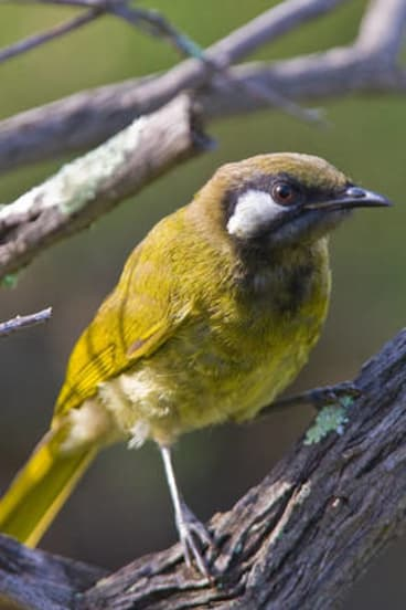 A white-eared honeyeater.