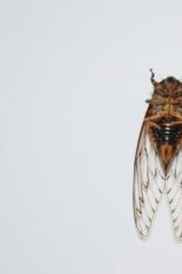 Shrill: Cicadas' droning noise is made by the vibrations of  two drum-like membranes on their abdomens. The male cicada has orange tymbals which it uses to create its sound.