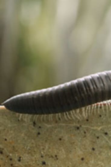Millipedes... scourge of the rail network.