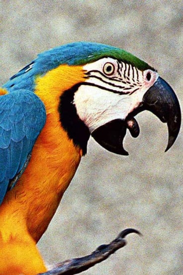 A macaw fetches $30,000 on the black market.