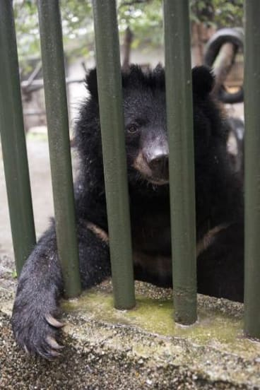 New life: a bear at Chengdu's China Bear Rescue Centre.