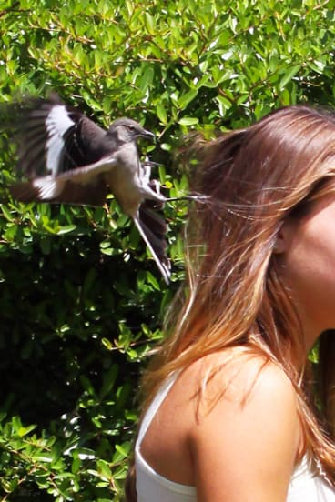 A mockingbird attacking a student at the University of Florida in an attempt to drive her away from its nest.