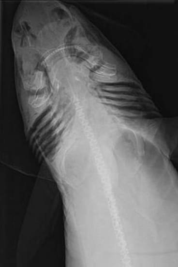 X-ray of the Mandarin dogfish.