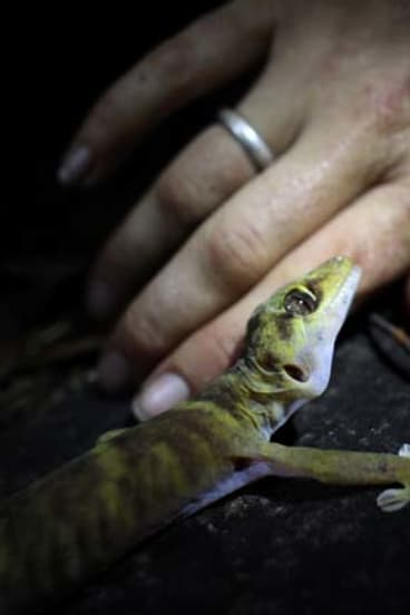 A giant cave gecko.